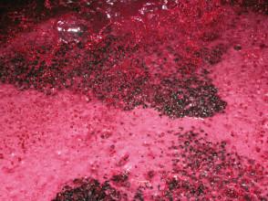 traditionelle Rotweingärung in der Maische